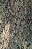 一棵老树的吠声纹理  免版税库存照片