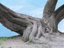 一棵老树的巨大的根在蓝天的 免版税库存图片