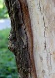 一棵老树的损坏的吠声层数  库存照片