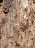 一棵老树的树干与一个被剥皮的吠声特写镜头的 免版税库存照片