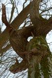 一棵老树的树干,树干,绕,在一棵老树,树的树干的绿色青苔长满与地衣 库存照片