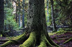 一棵老树的根在森林里 免版税图库摄影