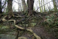一棵老树的根 免版税图库摄影