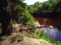 一棵老树的蜥蜴根 库存照片