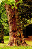 一棵老树 库存照片