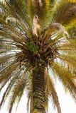 一棵老棕榈树 库存图片