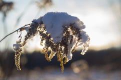 一棵老植物在冬天 图库摄影