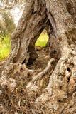 一棵老橄榄树意大利的挖坑的树干 库存图片