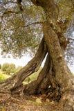 一棵老橄榄树意大利的挖坑的树干 免版税图库摄影
