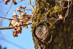 一棵老橡木的树干 库存照片