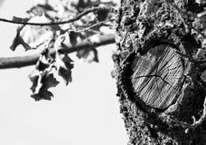 一棵老橡木的树干 图库摄影