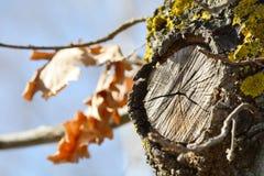 一棵老橡木的树干 免版税库存照片