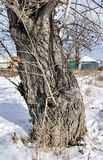 一棵老白杨树的树干在冬天 库存图片