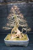 一棵老盆景树 免版税库存图片