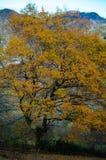 一棵老黄色树 免版税库存照片