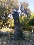 一棵老死的树在博斯坦Albasha -叙利亚 库存图片