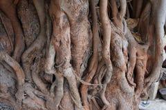 一棵老Peepal树 免版税库存照片