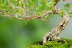 一棵老Snowrose盆景树的多节树干 免版税库存照片