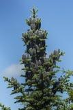 一棵肥沃胶冷杉树,新罕布什尔的黑锥体 免版税库存照片