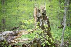 一棵腐烂的树的残破的树干 库存图片
