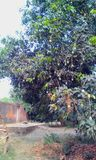 一棵芒果树用芒果 库存照片