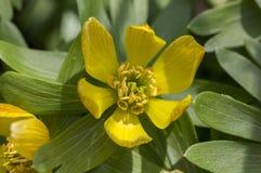 一棵花菟葵属,在绽放,早期的春天球茎花,宏观细节视图的共同的菟葵 免版税库存图片