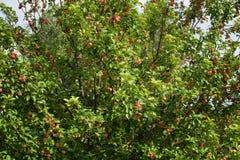 一棵苹果树用美味苹果在一个夏日 免版税库存照片