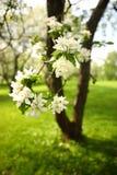 一棵苹果树的分支与白花的,在一个果树园在一个春日,特写镜头 免版税库存图片