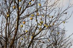 一棵苹果树的分支用没有叶子的果子 免版税库存图片