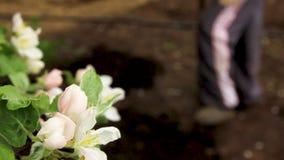 一棵苹果树的花反对铁锹开掘的背景的 影视素材