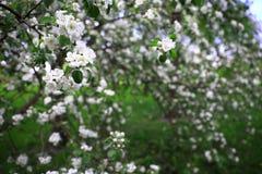 一棵苹果树的进展的分支与白花的在前景的焦点 库存照片