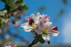 一棵苹果树的进展的分支在春天 库存图片