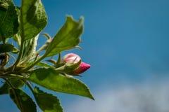 一棵苹果树的进展的分支在春天 图库摄影