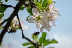 一棵苹果树的进展的分支在春天 库存照片