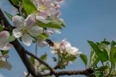 一棵苹果树的进展的分支在春天 免版税库存图片