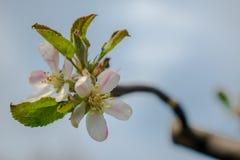 一棵苹果树的进展的分支在春天 免版税库存照片