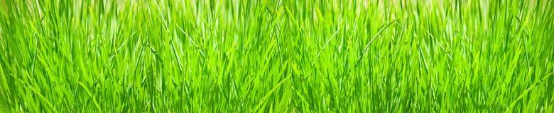 一棵草的被隔绝的图象在白色背景的 库存图片