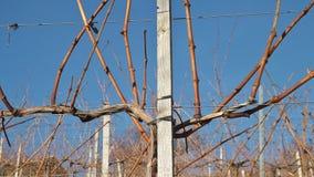 一棵葡萄树的细节在瓦豪,奥地利,欧洲 免版税库存照片