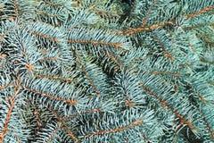 一棵蓝色云杉的分支 免版税图库摄影