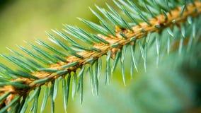 一棵蓝色云杉的枝杈 库存图片