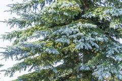 一棵蓝色云杉的树的分支反对明亮地被点燃的天空的 库存照片
