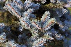 一棵蓝色云杉的针 免版税图库摄影