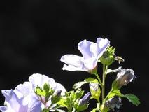 一棵蓝色木槿 免版税库存照片