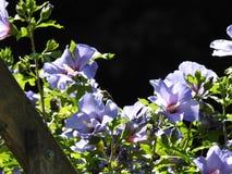 一棵蓝色木槿 库存图片