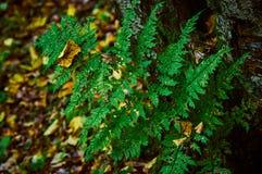一棵蕨的分支在秋天森林里 库存图片