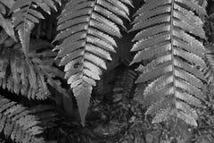 一棵蕨的树金黄叶子在黑白的 免版税库存图片