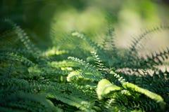 一棵蕨的绿色叶子在阳光下 免版税库存图片