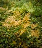 一棵蕨的被染黄的灌木在秋天森林里 库存图片