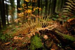 一棵蕨的黄色叶子在森林里 库存图片