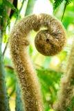 一棵蕨的绿色新芽在热带森林里 免版税库存照片